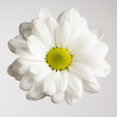 One fresh chrysanthemum flower