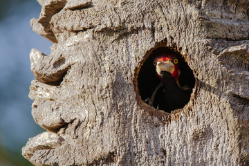 Male Crimson Crested Woodpecker Guarding Nest Hole
