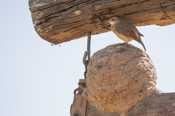 "Hornero (""Ovenbird"") on Top of Clay/Mud Nest"