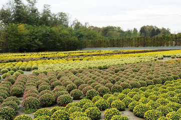 Beautiful Field of Chrysanthemum Flower Plants