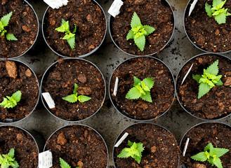 Young nemesia seedlings in flowerpots