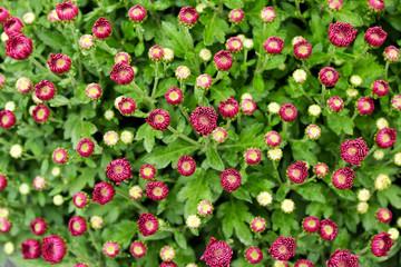 Background of flowering pink chrysanthemum
