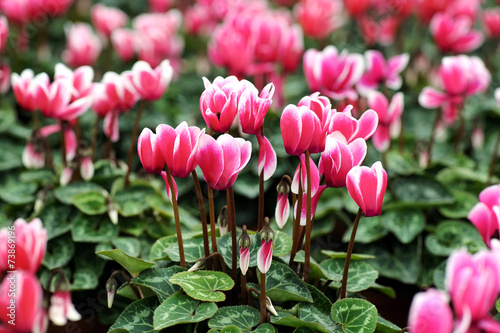 Variegated white and pink cyclamen flowers