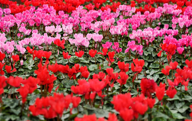 Colorful pink and red cyclamen flowers