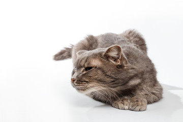 gray cat sniffs on white background