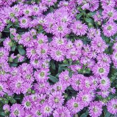 pink Chrysanthemum flowers closeup, natural background