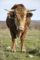Young brown bull in a meadow in Spain