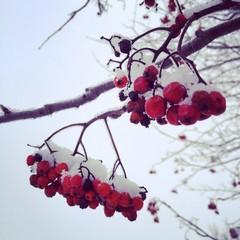 грозди рябины в снегу
