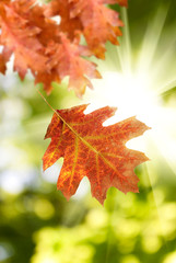 image of  autumn leaf against the sun