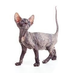 sphynx kitten or cat isolated