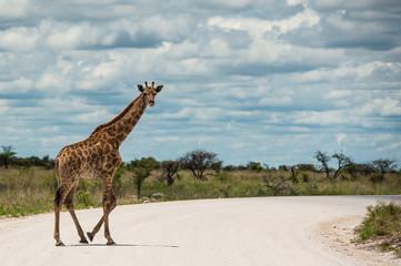 Giraffa, Namibia, Africa
