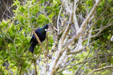 Tui Bird/ a native of New Zealand