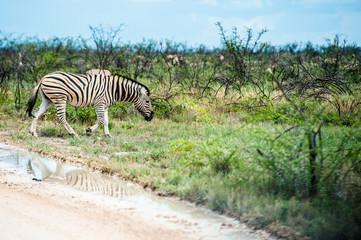 Zebra, Namibia, Africa