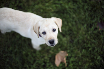 Baby pappy white labrador on green grass look in camera