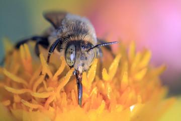 bee collect pollen, macro shooting