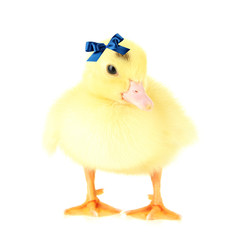 Cute duckling, isolated on white