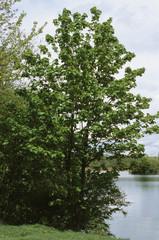 erable, Acer compestre