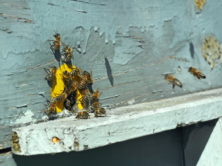Bees on the tap-hole of hive