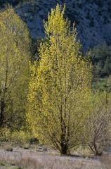 peuplier noir, Populus nigra