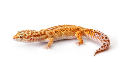 Yellow-orange gecko
