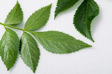 Elderberry leaves