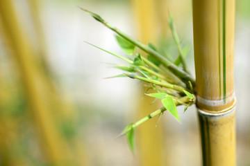 Bamboo yellow