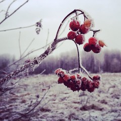 гроздь рябины в инее