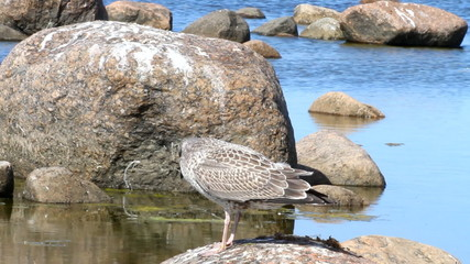 chick of a seagull, teenager on the sea. wild nature