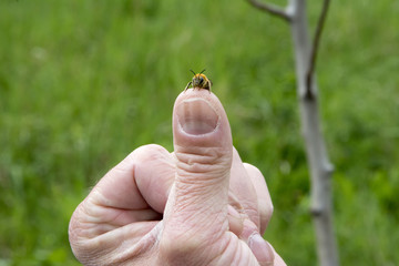 Bee on a Thumb