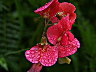 Higland Flower