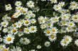marguerite, Chrysanthemum maximum