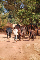 African herders bring small herds of cows grazing-Tanzania-Afric