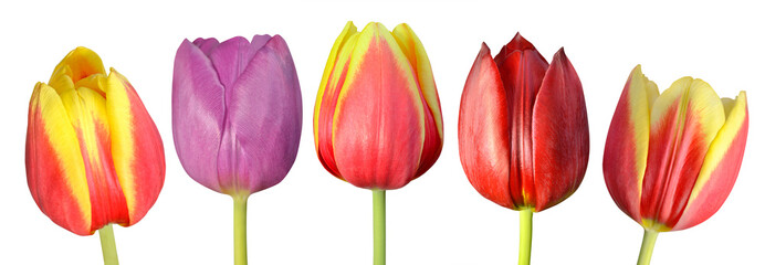 Collection of Five Colorful Tulip Flowers  Isolated on White