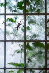 窓に貼り付いたヤモリ