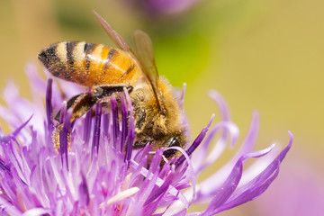Bee on flower of red clover