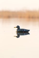 duck on the lake in the nature