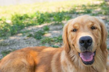 Golden retriever sorridente