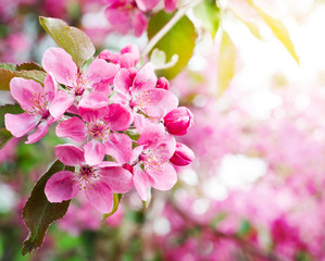 sakura. cherry blossom in springtime