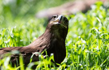 bird hawk nature