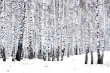 "Постер, картина, фотообои ""Birch forest in winter"""