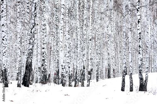 Fotobehang Berkenbos Birch forest in winter