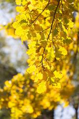 Beautiful oak leaves in autumn