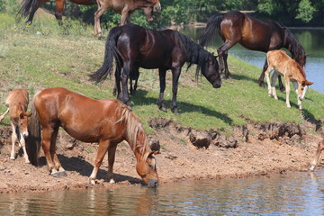 Horses drinking at horse-pond and swimming in the summer day