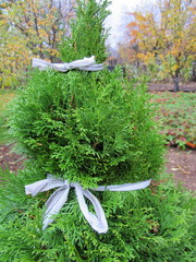 Thuja tied with a string to prevent its damage by snow
