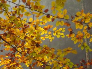 Buchenblätter im Herbstkleid