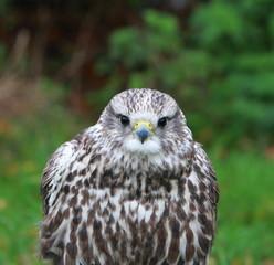Gyr-saker falcon
