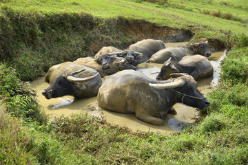 Water Buffalo Bath