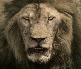 close up face of male lion dangerous african safari animals king