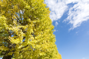 イチョウの黄葉と青空
