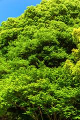 Forest of the village shrine, the tutelary deity
